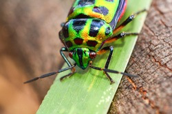 Colorful of Jewel beetle green bug on leaf in nature background / Close up green insect