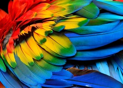 Colorful of Scarlet macaw bird's feathers with red yellow orange and blue shades, exotic nature background and texture