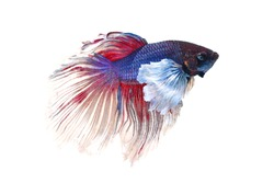 Colorful of siamese fighting fish