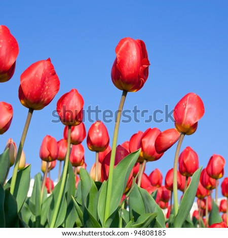 Colorful of tulips attach with blue sky