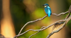 Colorful orange and blue Common Kingfisher  Alcedo atthis perched on twisted root ,isolated on blurry  background. Golden ratio composition. Lit by late evening sun. Calm atmosphere.