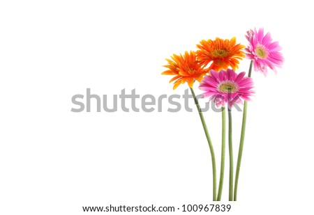 Colorful orange and pink daisy gerbera flower with copyspace