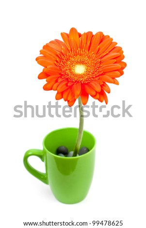 colorful orange daisy gerbera flowers in a cup