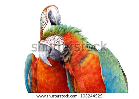 Colorful orange parrot macaw