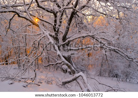 colorful orange sunrise in a beautiful oak forest in Hungary in winter Stock fotó ©