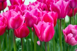 colorful panoramic holiday or birthday background with beautiful closeup pink tulips flowerbed