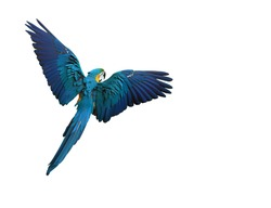 Colorful parrot flying with wings spread isolated on white