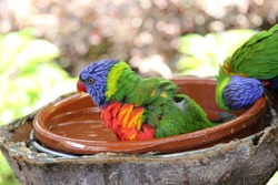 Colorful parrot in a bowl of water on a blurred background