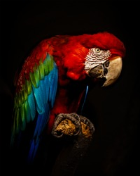 Colorful Parrot sitting on a branch in front a black Background in the zoo Zürich.