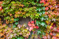 Colorful PARTHENOCISSUS tricuspidata, 'Vetchii' Boston ivy, Japanese ivy, grape ivy, creeper plant on the wall or cover the building, autumn background.