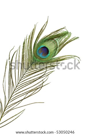 Colorful peacock feather detail isolated on white background