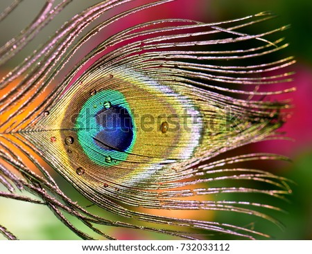 Stock Photo Colorful peacock feather with water drops