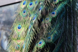 Colorful peacock with long feather tail