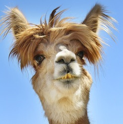 Colorful photograph of an isolated Alpaca with wild, messy,  funny hair.
