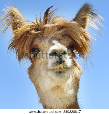 Colorful photograph of an isolated Alpaca with wild, messy,  funny hair. #280228817