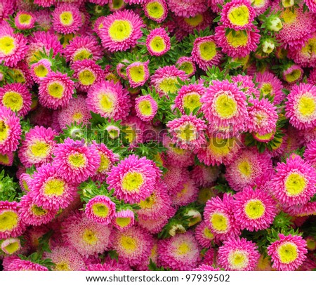 Colorful pink Aster flowers.