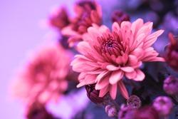 Colorful pink autumnal chrysanthemum background