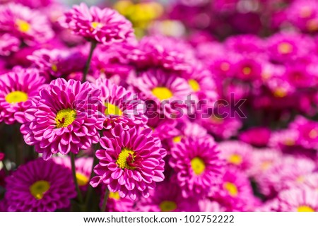 Colorful pink chrysanthemum  flowers in garden