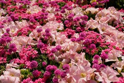 colorful pink flowers are blooming at a garden in Yokohama, Japan in March and April in spring time.