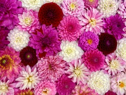 Colorful pink red beautiful dahlia flowers, wallpaper backdrop. Dahlia flowers with rain drops, top view wallpaper background. Blossoming dalias bloom