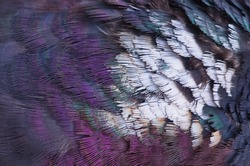 Colorful plumage element of common wood pigeon (Columba palumbus). Close-up colorful bird feathers background and texture. Selective focus.
