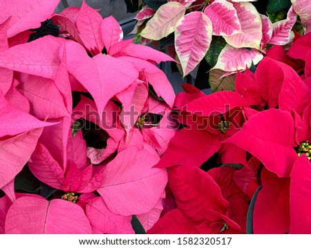 Colorful poinsettia Christmas flower. Holiday plants full frame. Horizontal pink and red poinsettias