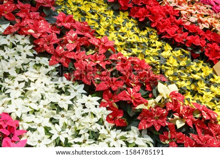 Colorful poinsettia Christmas flower. Pink, white, yellow and red poinsettias (Euphorbia pulcherrima). Decorative pattern