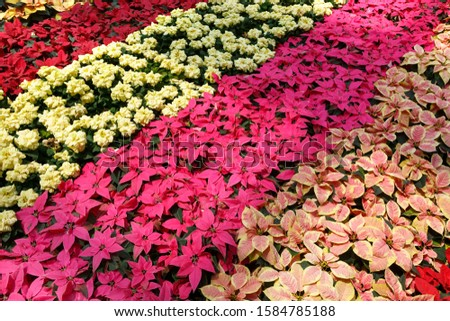 Colorful poinsettia Christmas flower. Pink, yellow and red poinsettias (Euphorbia pulcherrima). Decorative pattern