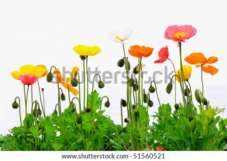 Colorful poppies against a white background