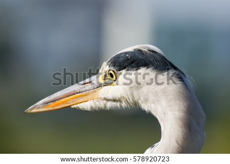 Colorful Portrait Of A Single Isolated Hunting Heron Egret On