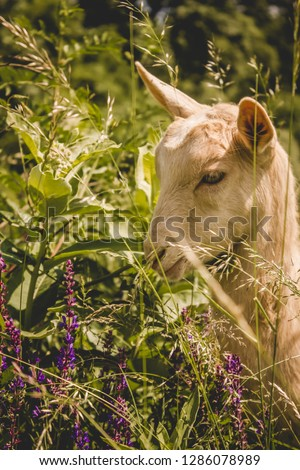 Colorful portrait of a young alpine goat grazing on a pasture - Organic dairy farm concept