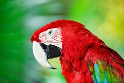 Colorful portrait of Amazon red macaw parrot against jungle. Side view of wild ara parrot head on green background. Wildlife and rainforest exotic tropical birds as popular pet breeds