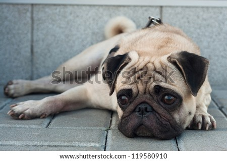 Colorful portrait of sad purebred pug dog lying on blocks outdoors and looking somewhere with depression in his eyes. Copy space