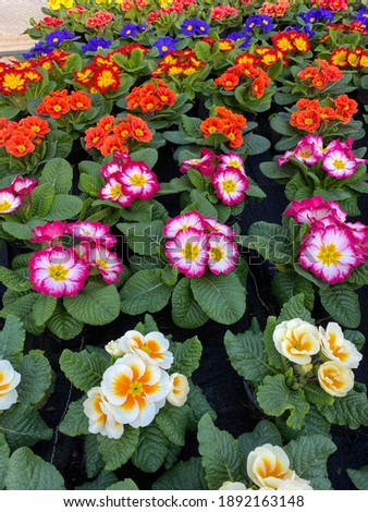 Colorful prim roses on a Table Stock foto ©