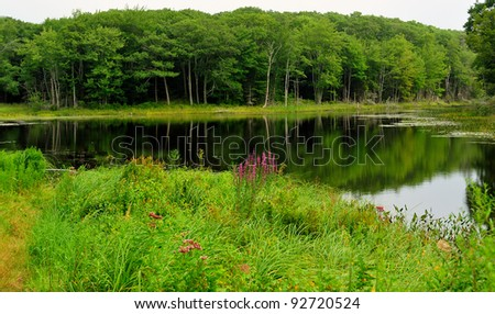 Colorful purple fireweed growing on the banks of a small northern Maine pond or lake