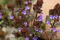 Colorful purple flowers and reddish green leaves of creeping Charlie ground ivy