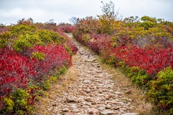 Colorful red bushes in autumn fall in Bear Rocks trail steep path at Dolly Sods in West Virginia in National Forest Park with rocky footpath in cloudy weather
