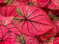 colorful red caladium leaves nature or abstract background by closeup of vivid pink heart-shaped leaf shrub a tropical leafy potted plant for garden decoration and graphic design