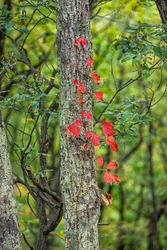 Colorful red foliage vertical view of woodbine wood Virginia creeper on tree in autumn fall forest at Dolly Sods in West Virginia in National Forest Park with vine leaves