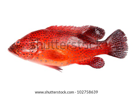 Stock Photo Colorful red grouper fish on white background