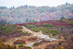 Colorful red huckleberry bushes foliage in fall autumn with puddles bog in Bear Rocks trail at Dolly Sods in West Virginia National Forest Park with footpath road in cloudy rainy weather