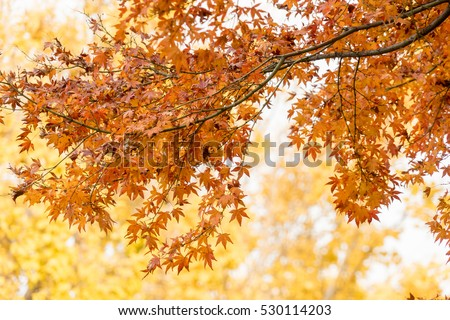colorful red maple leaves branch tree in Showa Kinen Park, Tokyo, Japan. #530114203