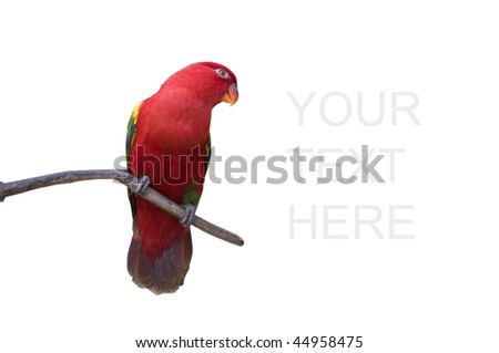 colorful red parrot isolated in white with clipping path