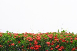 Colorful red spike flower blooming or colorful Ixora coccinea fence tree on white wall background