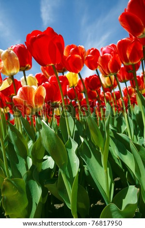 Colorful red tulips under the bright spring sun.
