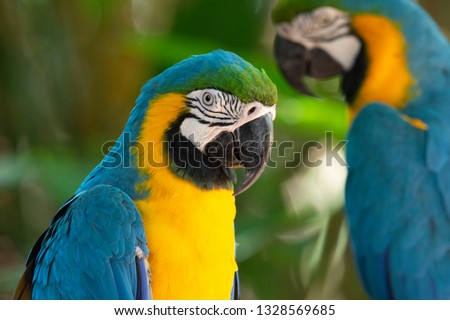 Photo of  Colorful red, yellow and blue macaws in Parque das Aves (Birds Park) n the city of Foz do Iguaçu, close to the Iguazu Falls, Parana State,the South Region of Brazil.
