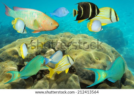 Colorful reef fish underwater over boulder star coral in the Caribbean sea