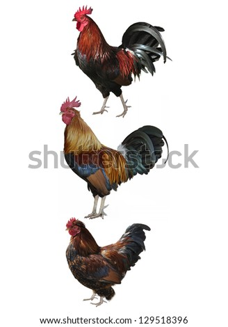 Colorful Roosters Isolated On White