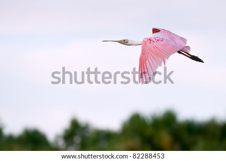 colorful roseate spoonbill in flight over florida wetland, with warm dawn light