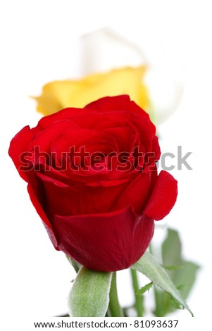 colorful roses isolated on white background
